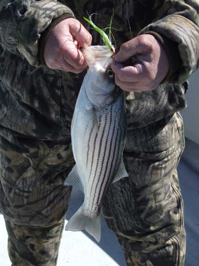 Striped-bass-on-the-fly
