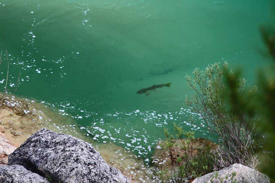 Double-figure-trout-in-crystal-clear-water