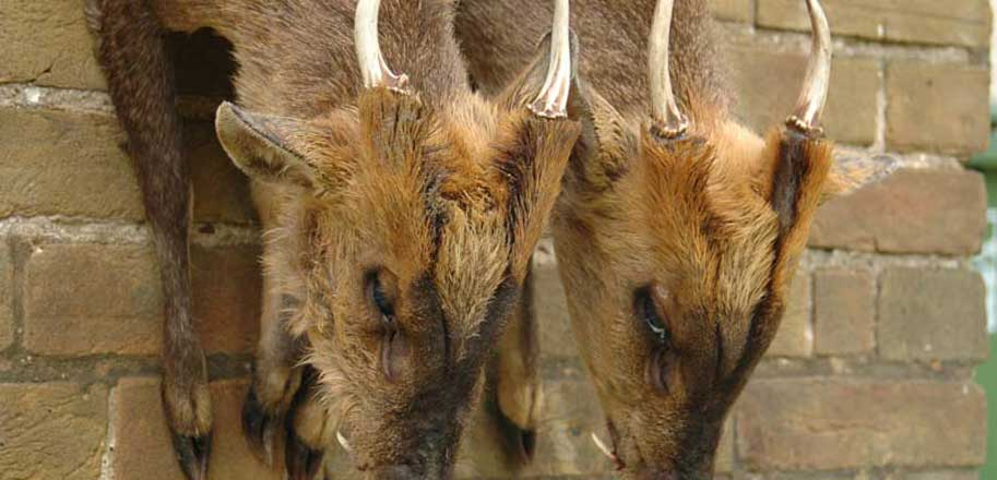 Muntjac-heads-SLIDER-wp