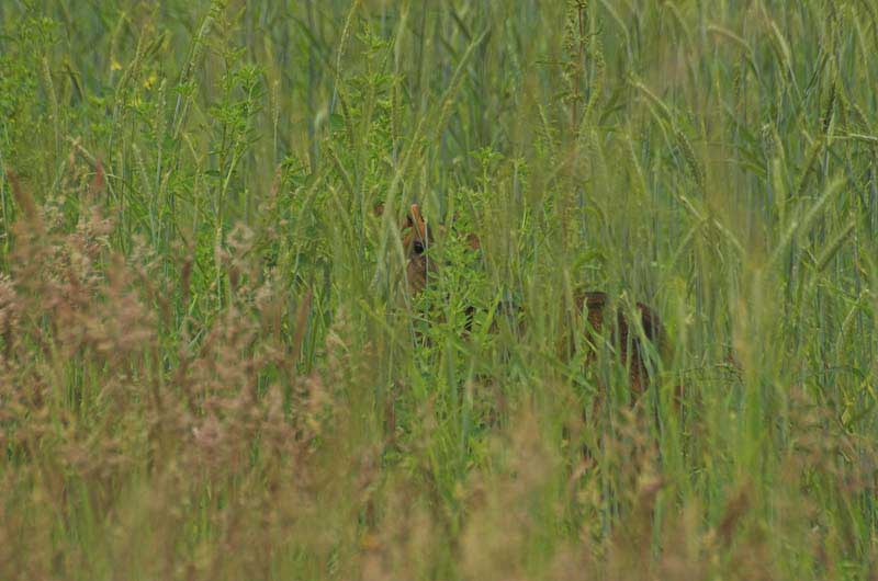 Muntjac-in-hiding