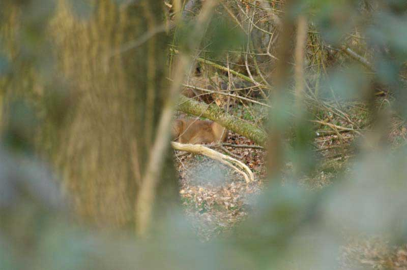 Roe-buck-in-hiding