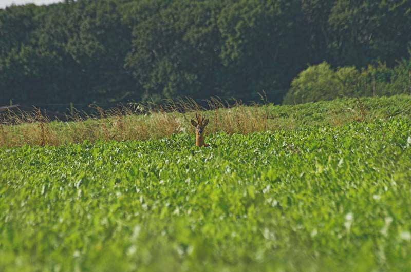 Roe-in-field