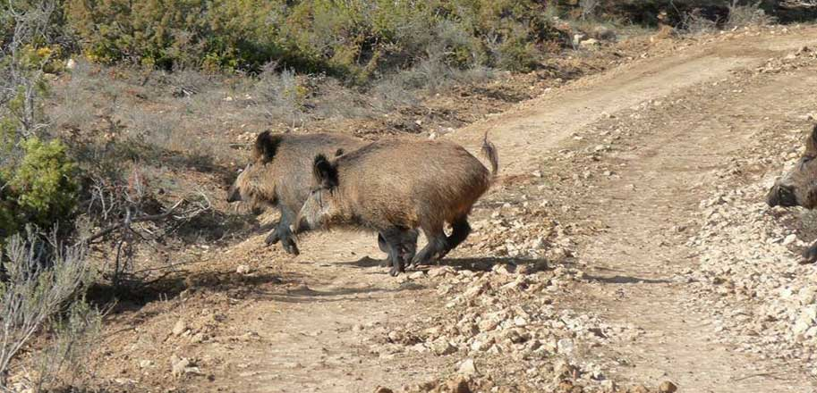 Boars-in-motion-SLIDER